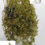 Chara Algae Image