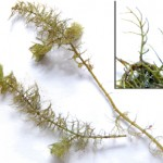Water Milfoil Pond Weed