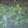 Bladderwort Pond Weed Image