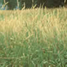 Reed Grass Image